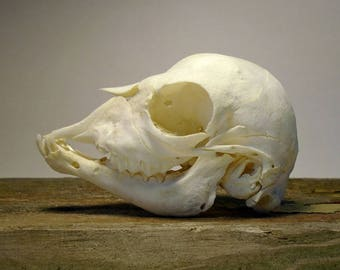 SALE Real Tiny Baby Goat Kid Skull with Jaw