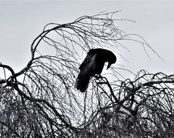 Bowing Corvus