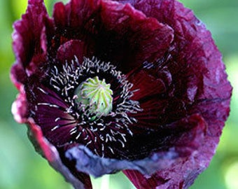 Papaver somniferum Black Peony Poppy Dark Purple Flower 200 Seeds #1171