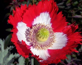 Poppy Danish Flag Flower Seeds (Papaver Somniferum) 250+ Seeds