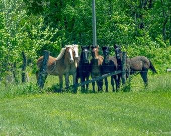 Posing Horses