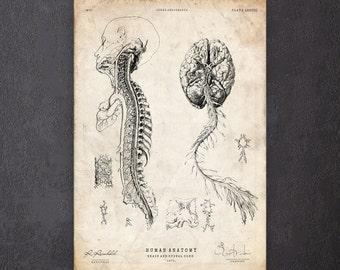 Neurology print Brain anatomy art print Doctor gift Anatomy poster CA071