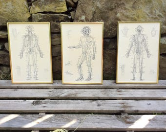 Three vintage anatomical prints, framed, 1980s