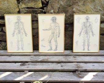 Three vintage anatomical prints, framed, 1980s