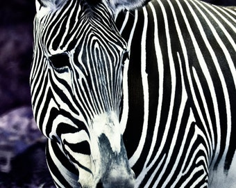 Striped Fantasy - Zebra Art Print - Zebra Photograph - Black & White Zebra - Nature Art Print - Fantasy Zebra - Fantasy Art Print