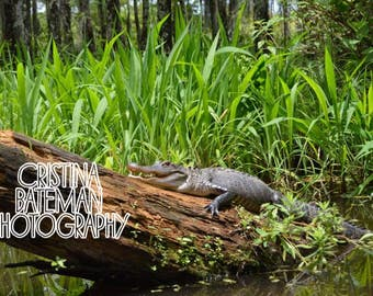 Alligator in swamp Fine Art Photography Prints and Canvas
