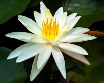 Flower Photography | Fine Art Photography | Photo Print | Flower | Echinacea | Waterlily | Fine Art Print | Photography