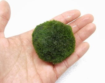 Buy 1 GIANT get 1 LARGE ball FREE!  Marimo Moss Ball for Terrarium Planted Tanks Live Aquarium