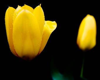 Yellow Tulips #1
