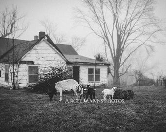 Black and White Farm Photo, Farm Animal Photography, Goat Photo, Rustic Home Decor
