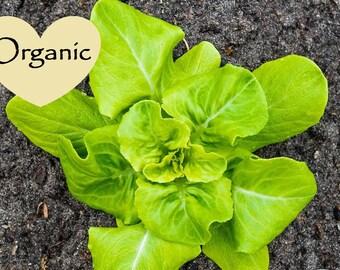 Lettuce Butterhead Buttercrunch Organic Non-GMO, 100+ Organic seeds, Lettuce, Organic garden Seeds, Vegetable Seeds, Organic gardening seeds