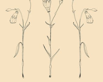 Carnation - Herbarium illustration