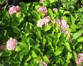 One Hydrangea Macrophylla Saxon Oregon Garden Live Plant Shrub for Cottage Gardens