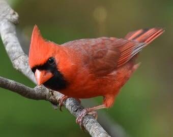 Male Cardinal photo #1