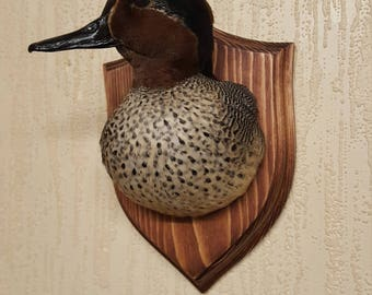Teal shoulder mount ( anas crecca ) taxidermy