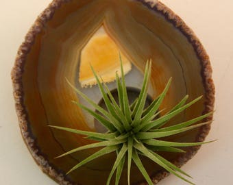 Sliced Agate Adorned by Air Plant - Home Accent - Unique Gift - Wedding Decor