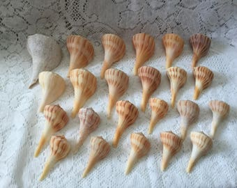 23 Lightning Whelks Florida Seashells FL Beach Shells