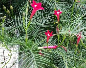 Red Cypress Hummingbird Vine - 50 Seeds from my garden