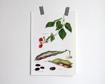 Vintage Print, Scarlet Runner, Lima Bean, Book Plate, 1965