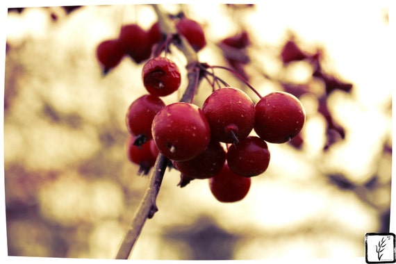 Color Photograph, fine art, photo print, wall art, home decor, Autumn, nature, natural, crab apples, haiku, Fall
