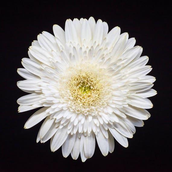 White Gerbera Daisy, Flower Photography, Nature Prints, Wall Art - pale yellow, minimalist decor, Botanical Photo, Floral Home, Feminine