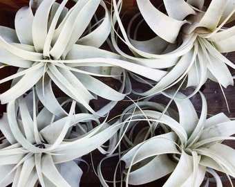 Xerographica Air Plant, Medium to Large Size, Queen of Tillandsia, Airplant, Boho Decor, Indoor or Outdoor Plant, Gift fot Gardener