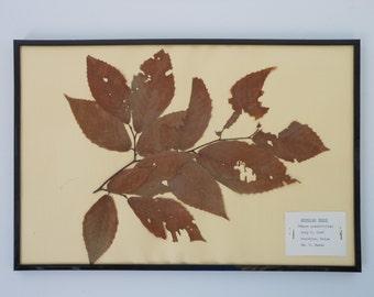 Vintage 1968 botanical specimen by Maine arborist - American Beech