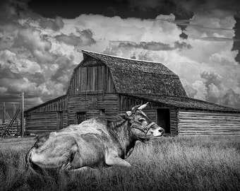 Black and White, Farm, Cow, laying in the Grass, in front of a Barn, with Cloudy Sky, Fine Art, Rural, Agricultural, Landscape, Photograph