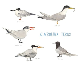 Carolina Tern,  Watercolor Bird Illustration Print