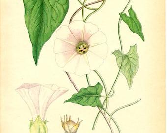 BIND WEED 1905 BOTANICAL Original Book Plate 105 Convolvulus Sepium