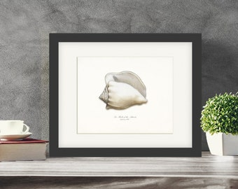 Coastal Decor Sea Shell Giclee Art Print - Atlantic Whelk No. 1  10x8