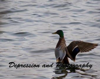 Mallard Duck Photograph Print