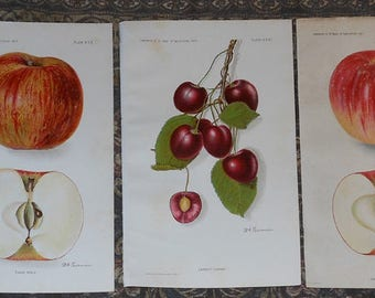 five vintage fruit apples cherry s prints