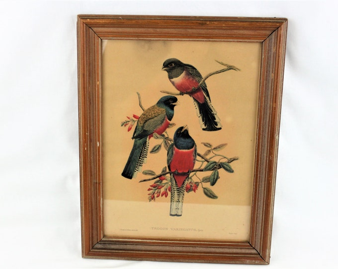 Antique Trogon Variegatus Lithograph by J Gould and W Hart 1836 to 1838