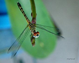 Dragonfly Photograph / 8x10 / Free US Shipping / MVMayoPhotography