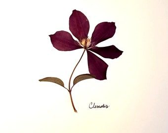 Clematis Real Botanical Pressed Flower Art: Botanical Art with Purple Clematis