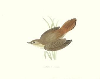 Bird Print Antique, Rufous Warbler, Water Bird Print, History of British Birds, F O Morris, 1851
