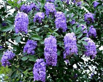Texas Mountain Laurel, 10 seeds, Sophora secundiflora, fragrant blooms, xeriscape, desert plant, zones 7 to 11, perfect hedge, very purple