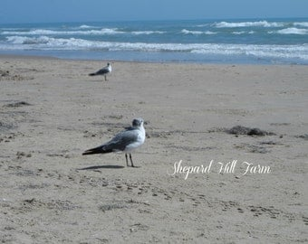 Seagulls Photograph DIGITAL Download Wildlife Beach Nautical Decor Graphics Art Crafts Background COMMERCIAL LICENSE