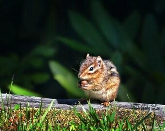 Chipmunk, Chipmunk Photograph, Wildlife Photograph, Nature Photography, Wall Art, Home Decor,Animal Lover
