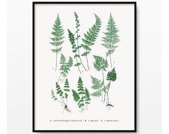 Ferns Print- Botanical Illustration- Plant Wall Art- Vintage Illustration- A. Cystopteris fragilis- C. regia- C. montana- (BP-045)