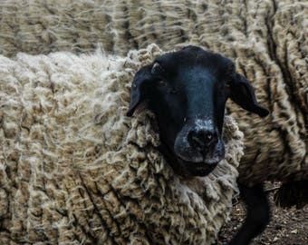Sheep love