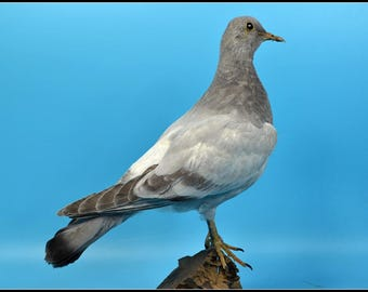 real stuff bird taxidermy Dove,specimen,  birthday gift ,free shipping to worldwide