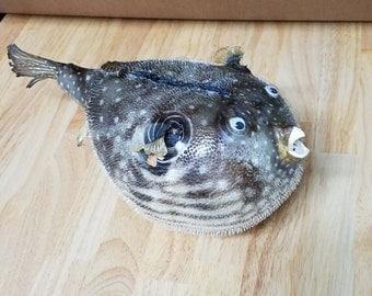 Dried Blowfish, Puffer Fish, Dried Fish, Blowfish, Large Blowfish, Nautical Decor, Puffer, Fish, Nautical