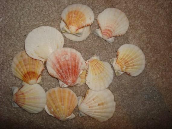 1 kilo bag pecten seashells assorted pecten pectin for Bag of seashells for crafts