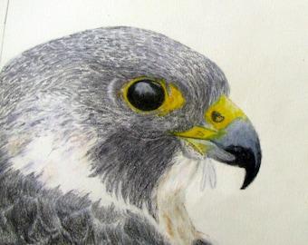Birds,animals,drawing,coloured pencil drawing,bird of prey