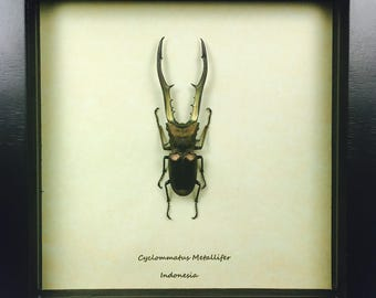 Cyclommatus Metallifer Rare Stag Beetle Wooden Frame Entomology Insect Art