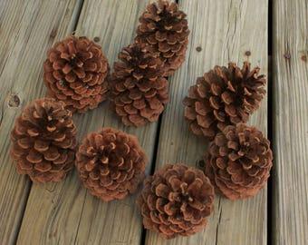 8 Ponderosa Pine Cones