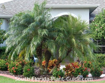 Pygmy Date Palm - Tropical seeds - Phoenix Roebelenii