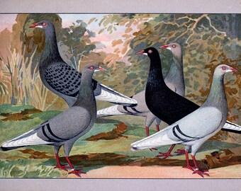 Pigeon bird prints antique 1910 24 printable jpegs